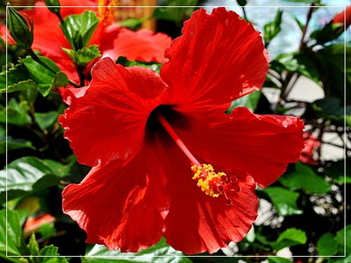 Hướng dẫn làm màu son với hoa dâm bụt
